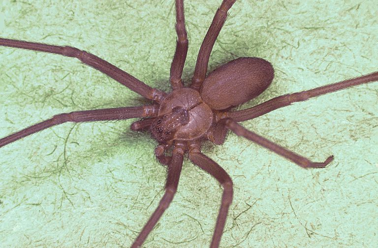 Loxosceles spiders display a fiddle-shaped marking on the cephalothorax.