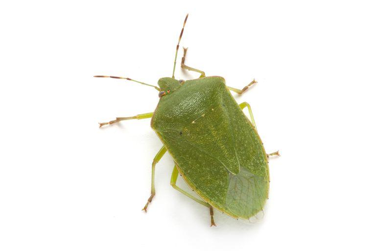 Green stink bug.