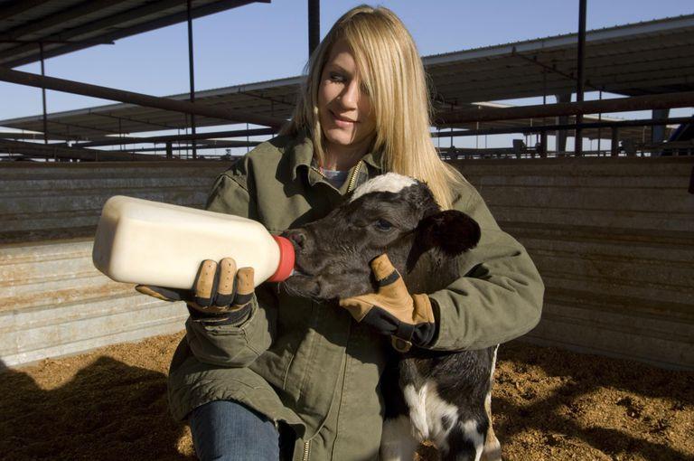 Farm worker bottle feeding a newborn calf at a dia