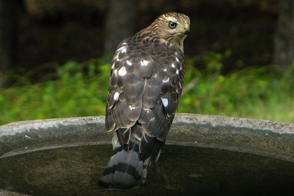Hawk in a Bird Bath