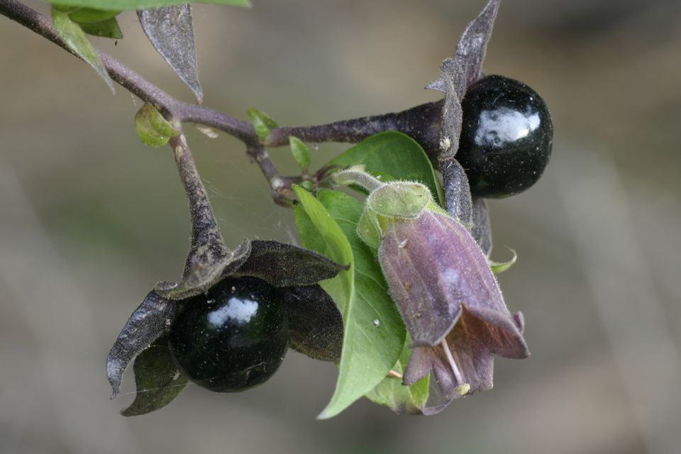 Flower and Berries of Deadly Nightshade