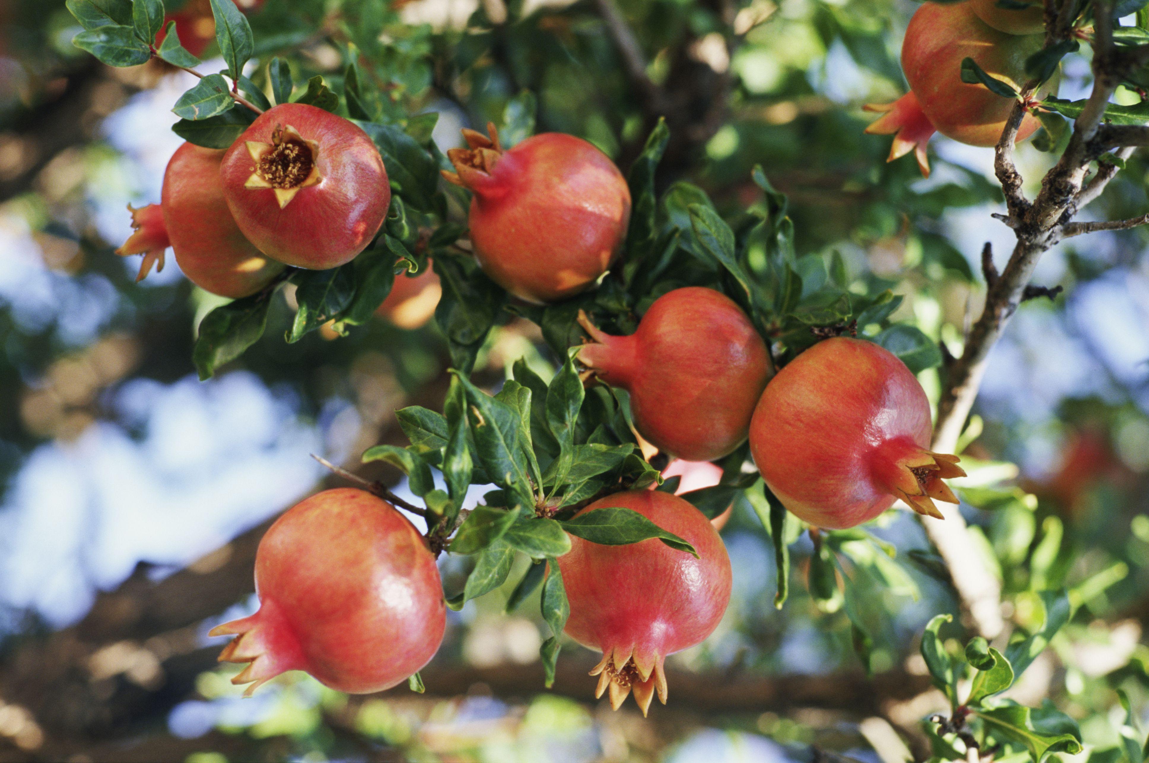 La granada o fruto del granado for Arbol granada de jardin