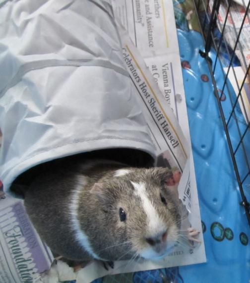 Guina Pig Adoption