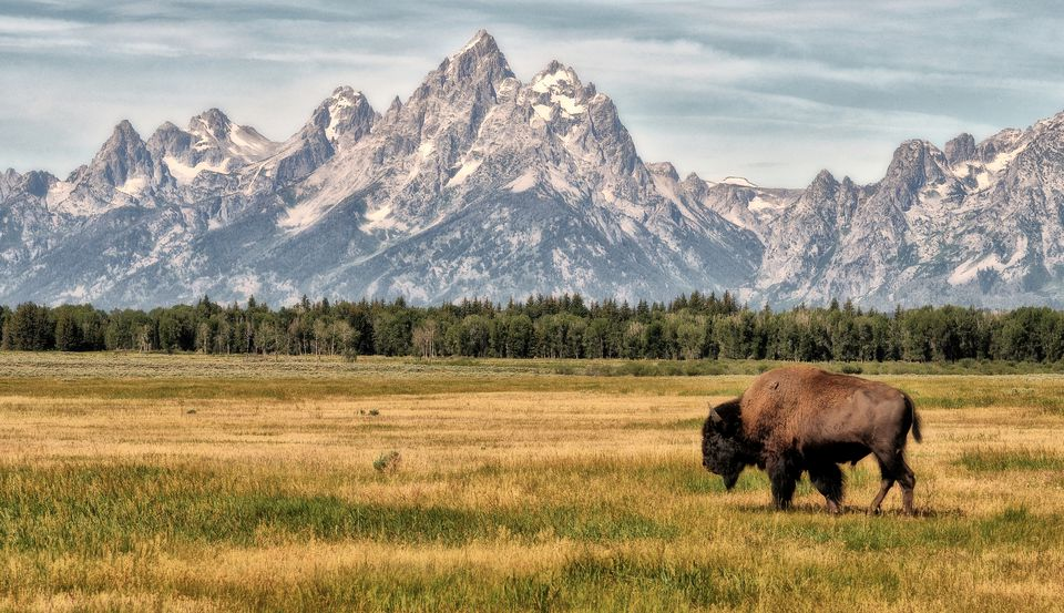 Bison in the Tetons