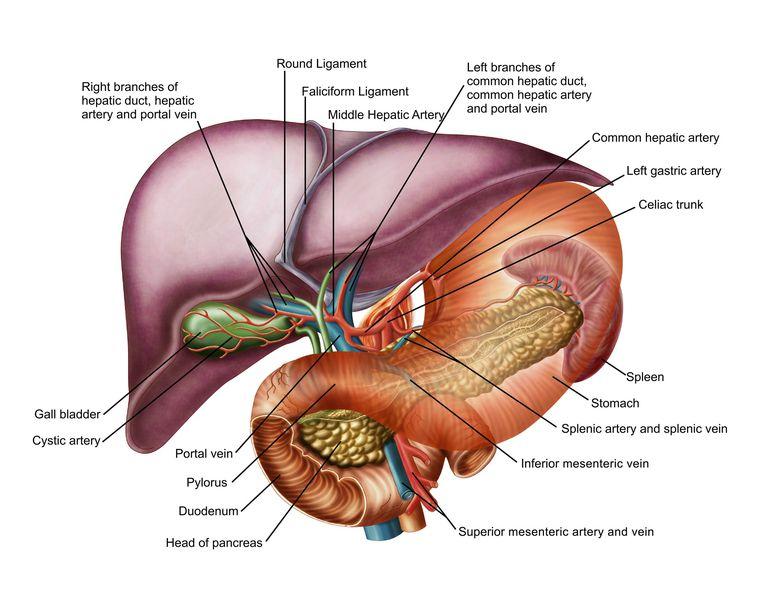 Anatomy of liver, antero-visceral view
