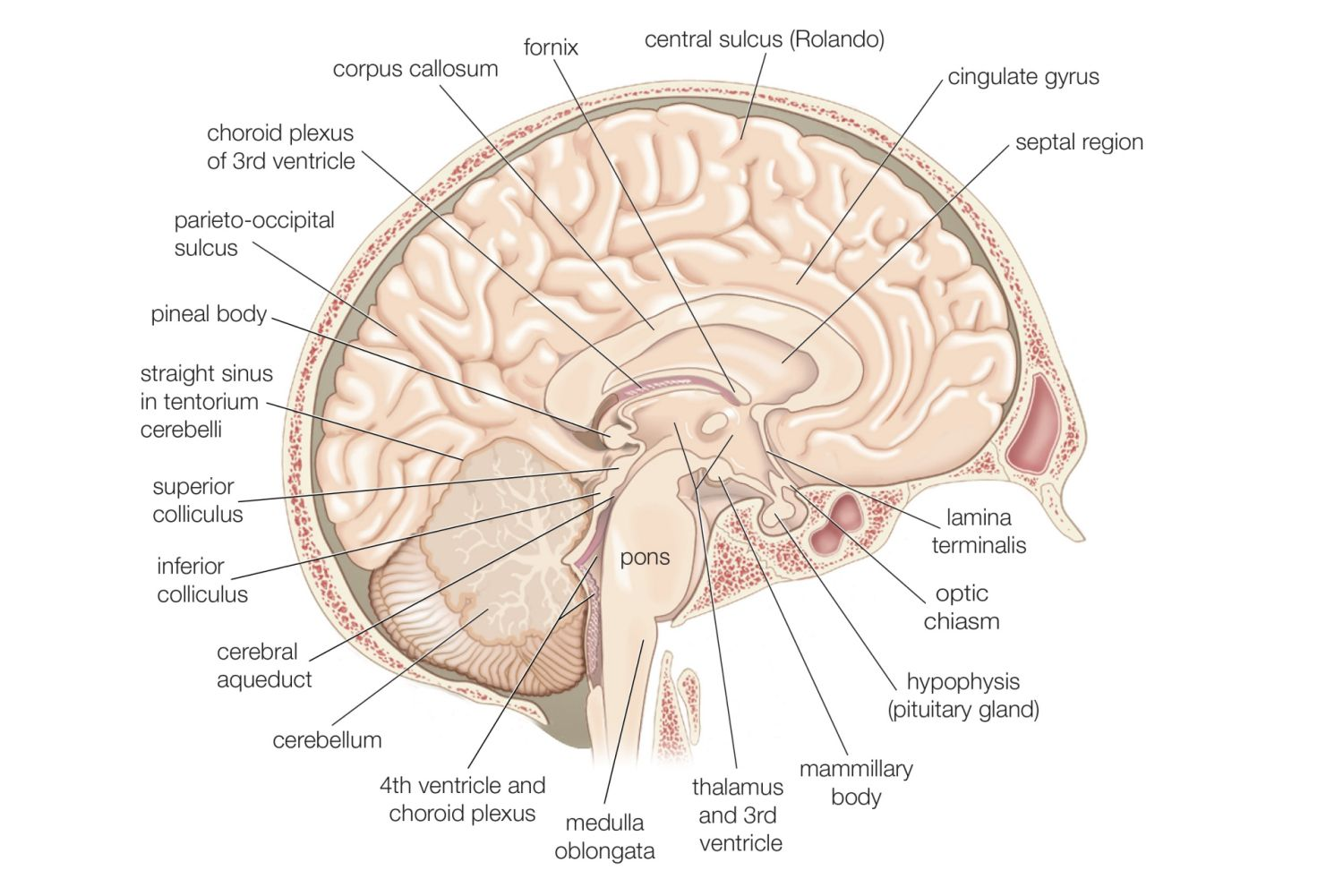 Divisions Of The Brain Forebrain Midbrain Hindbrain
