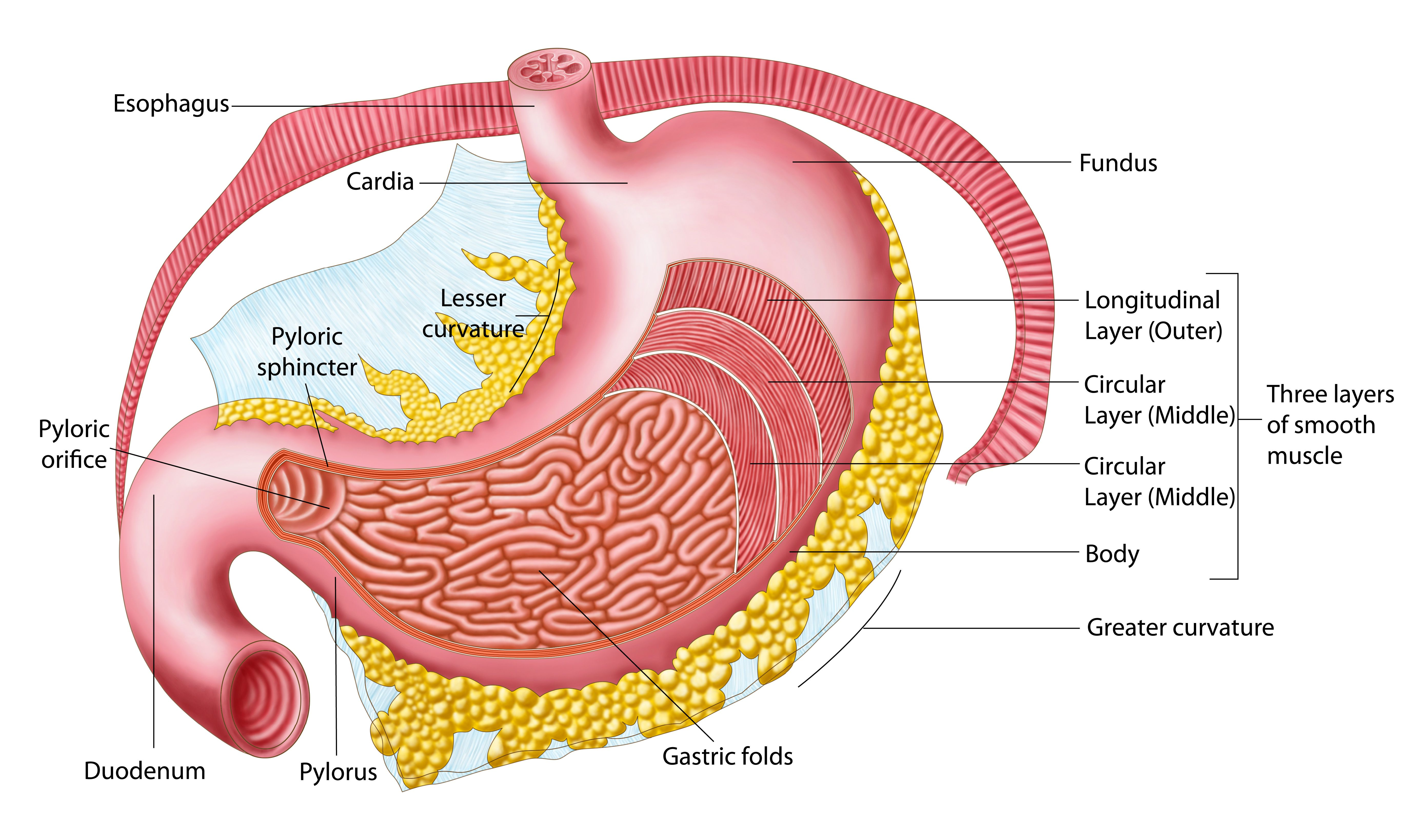 Anatomy of the stomach with pictures ccuart Choice Image