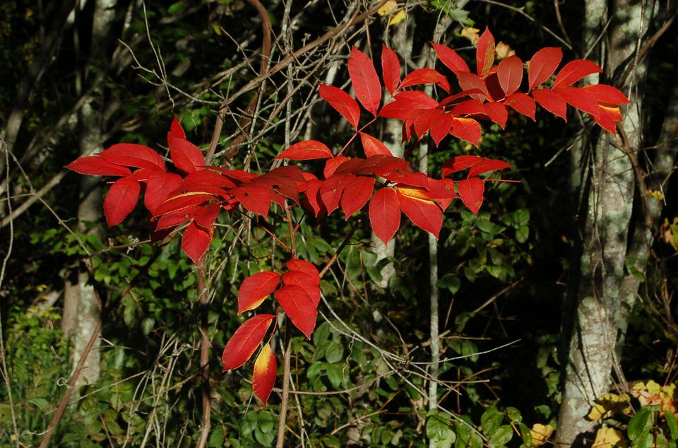 What poison sumac's fall color looks like.