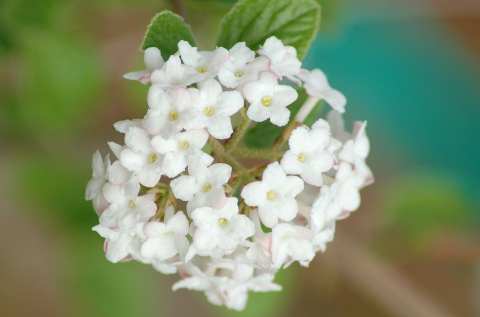 Image of Korean spice viburnum flower head.