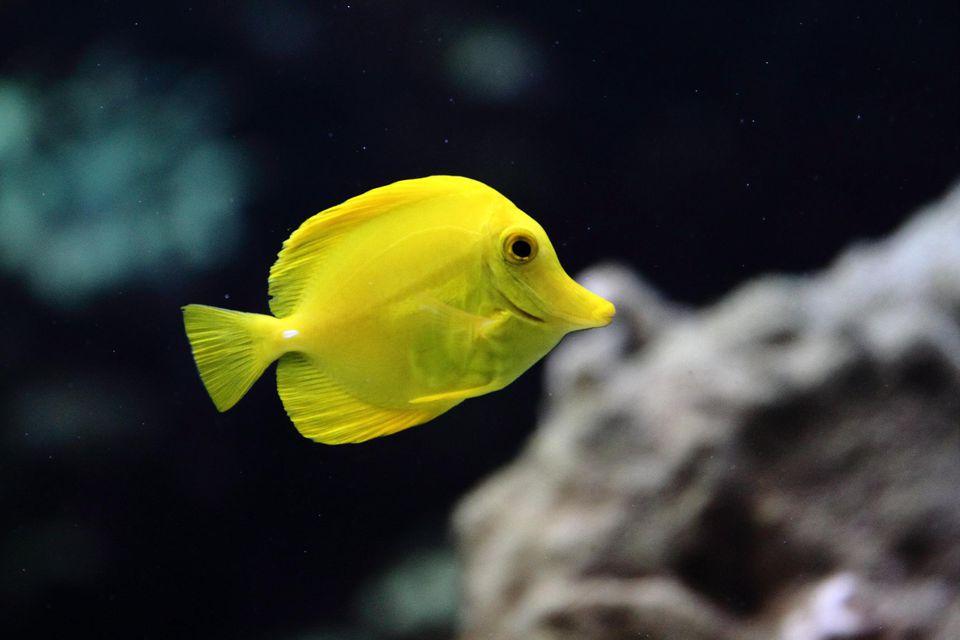 Yellow tang tropical fish with coral backdrop