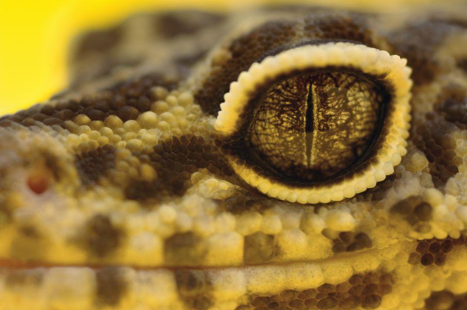 Leopard gecko eye