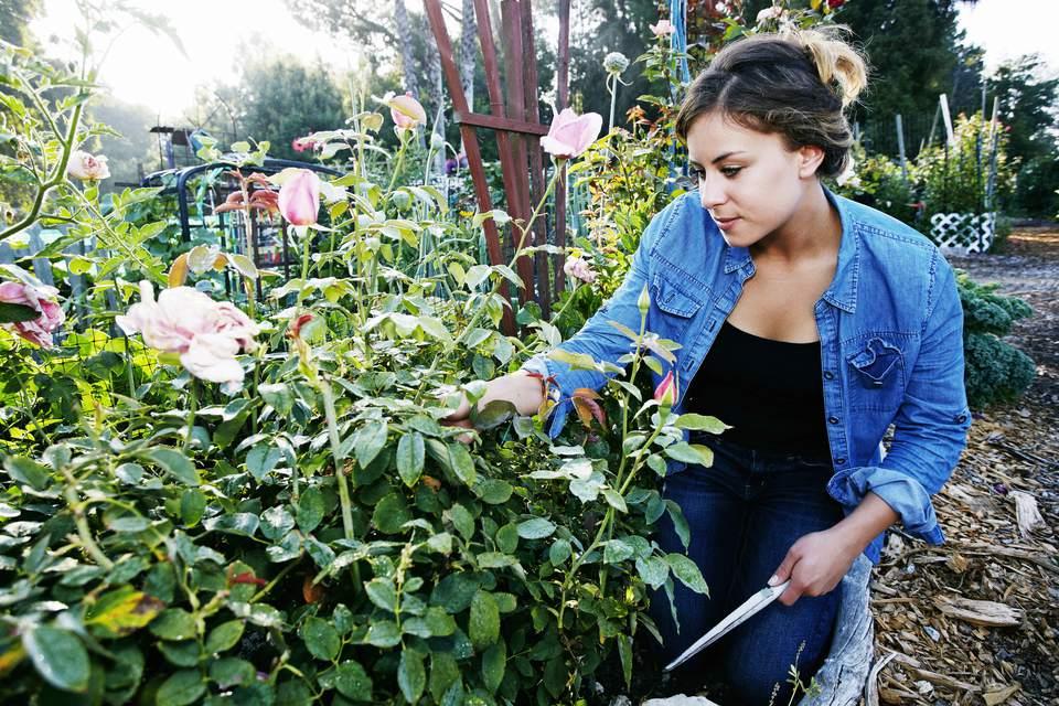Woman pruning rose bushes.
