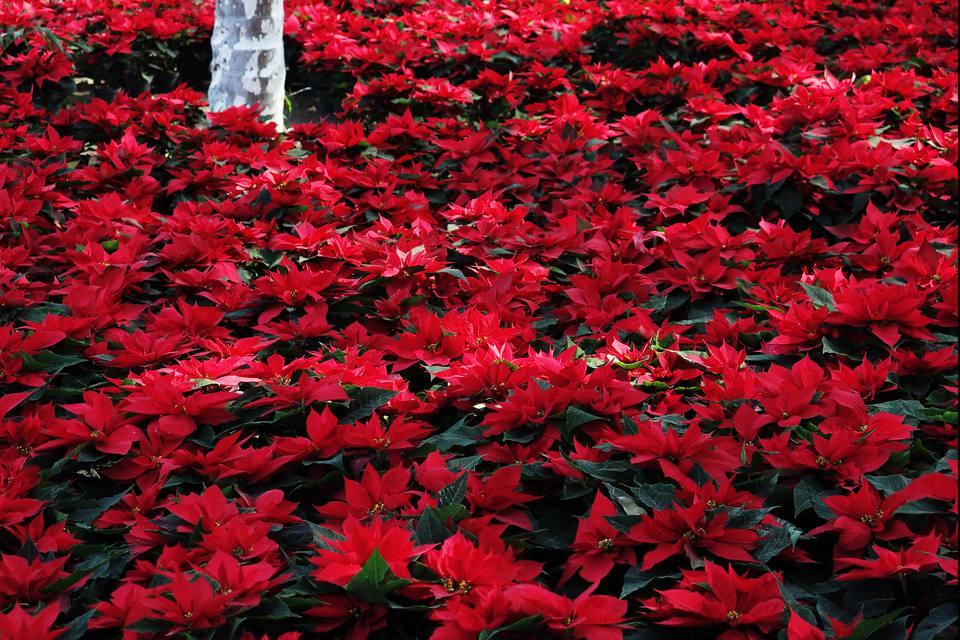 Poinsettias under the trees, Zihuatanejo