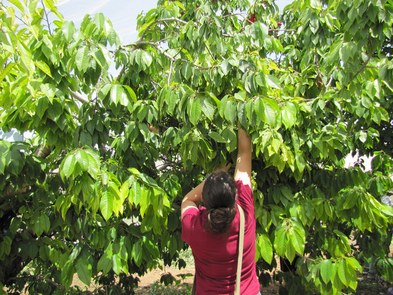 Picking cherries at the Gush Cherry Festival in Israel, 2011