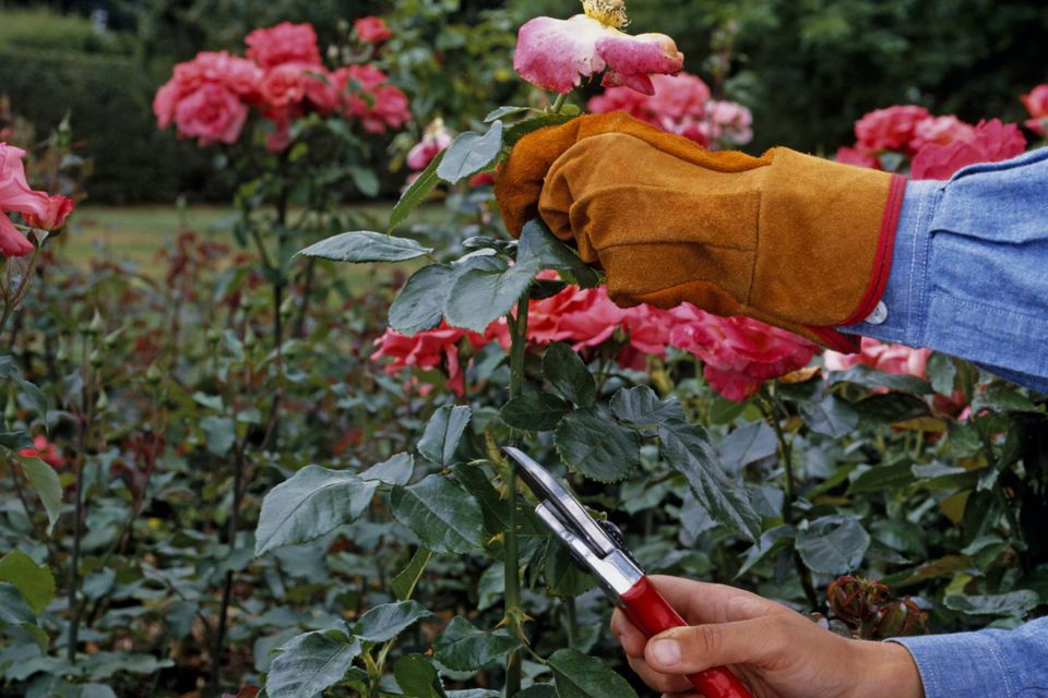 Dead-heading a large-flowered bush rose (hybrid tea rose), cutting back stems bearing faded flowers to an outward-facing bud or fully formed shoot, wearing protective gloves, close-up