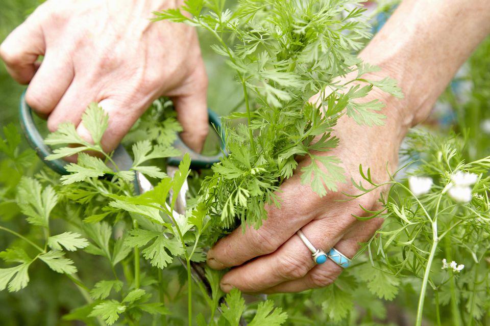 Harvesting cilantro