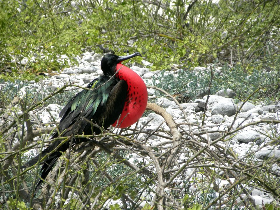 Great frigate bird in the Galapagos Islands