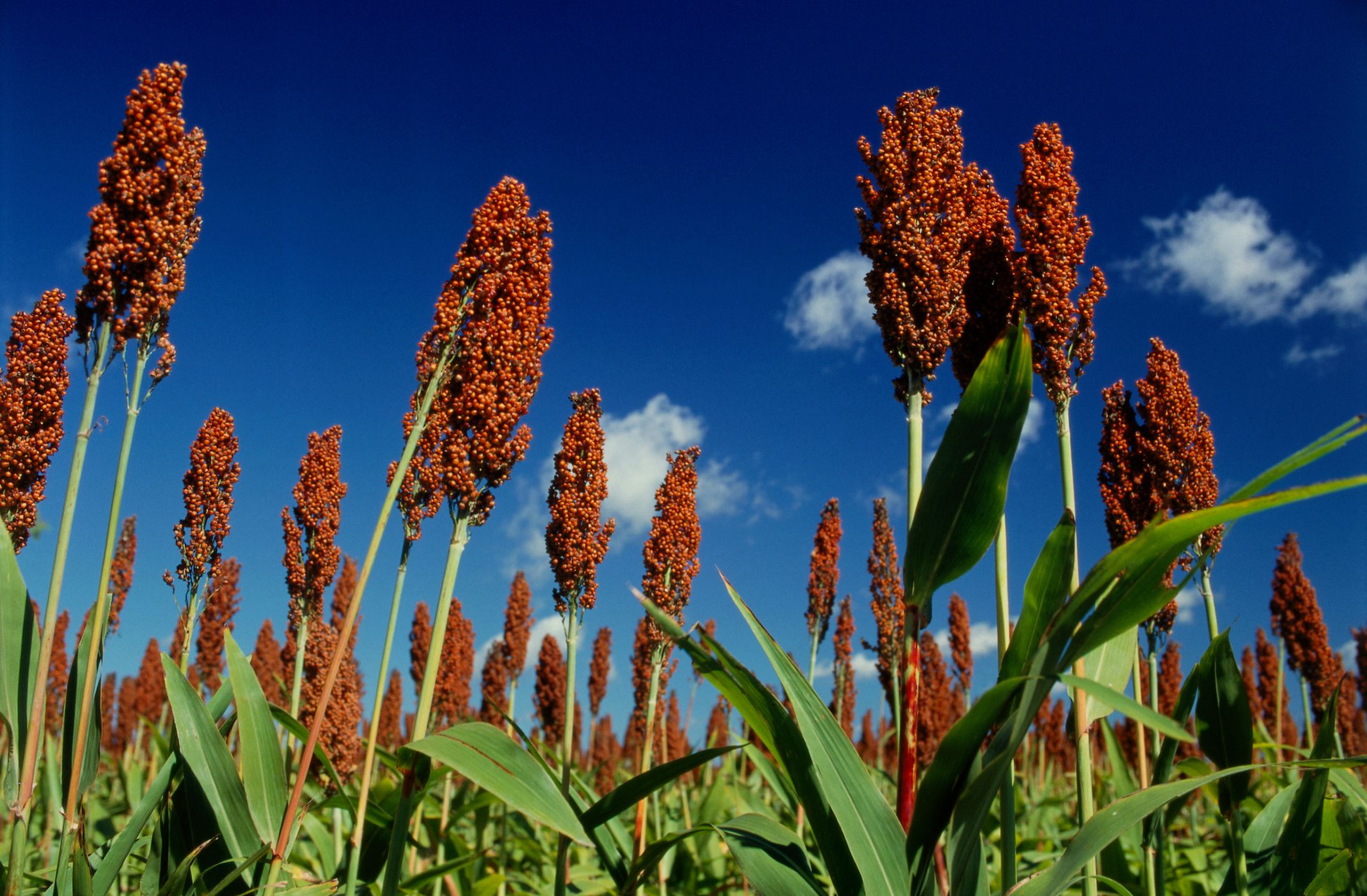 For Gluten-Free Sorghum, Stick With These Three Brands