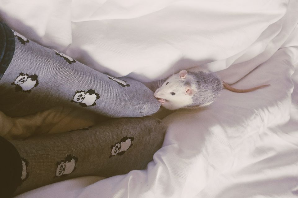 Womans feet and rat playing on bed