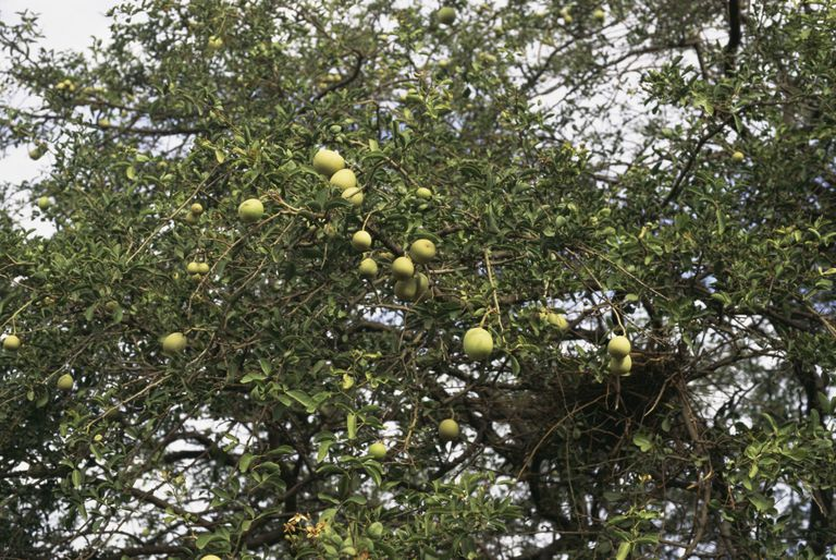 Aegle marmelos or bael fruit tree
