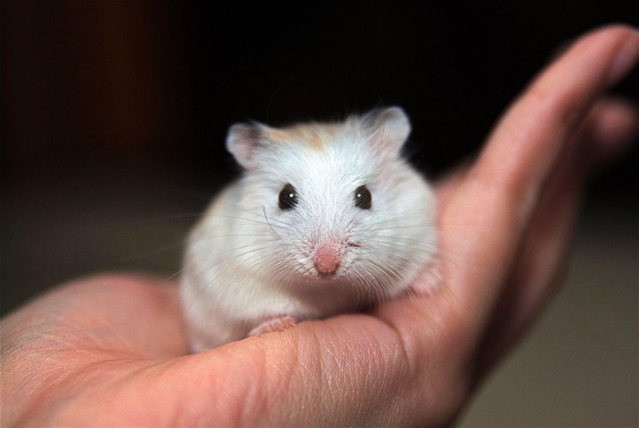 Choosing a Dwarf Hamster Cage