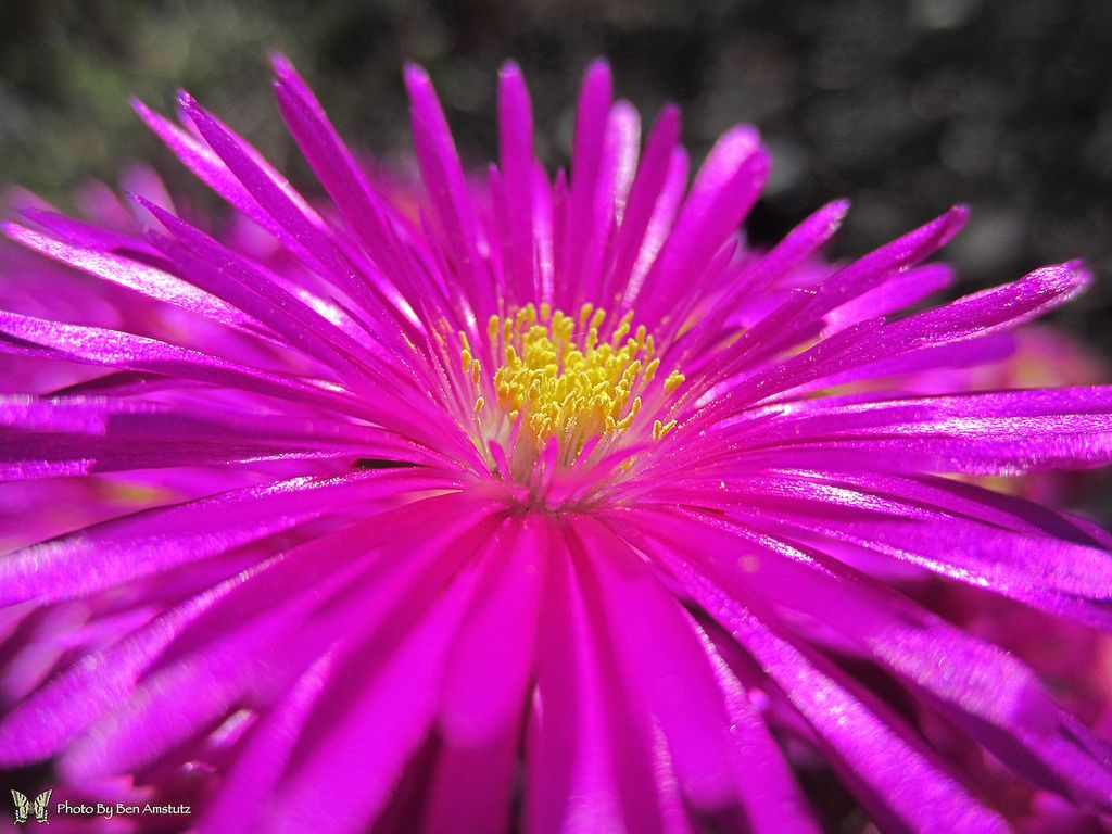13 plants with daisy like flowers dhlflorist Images
