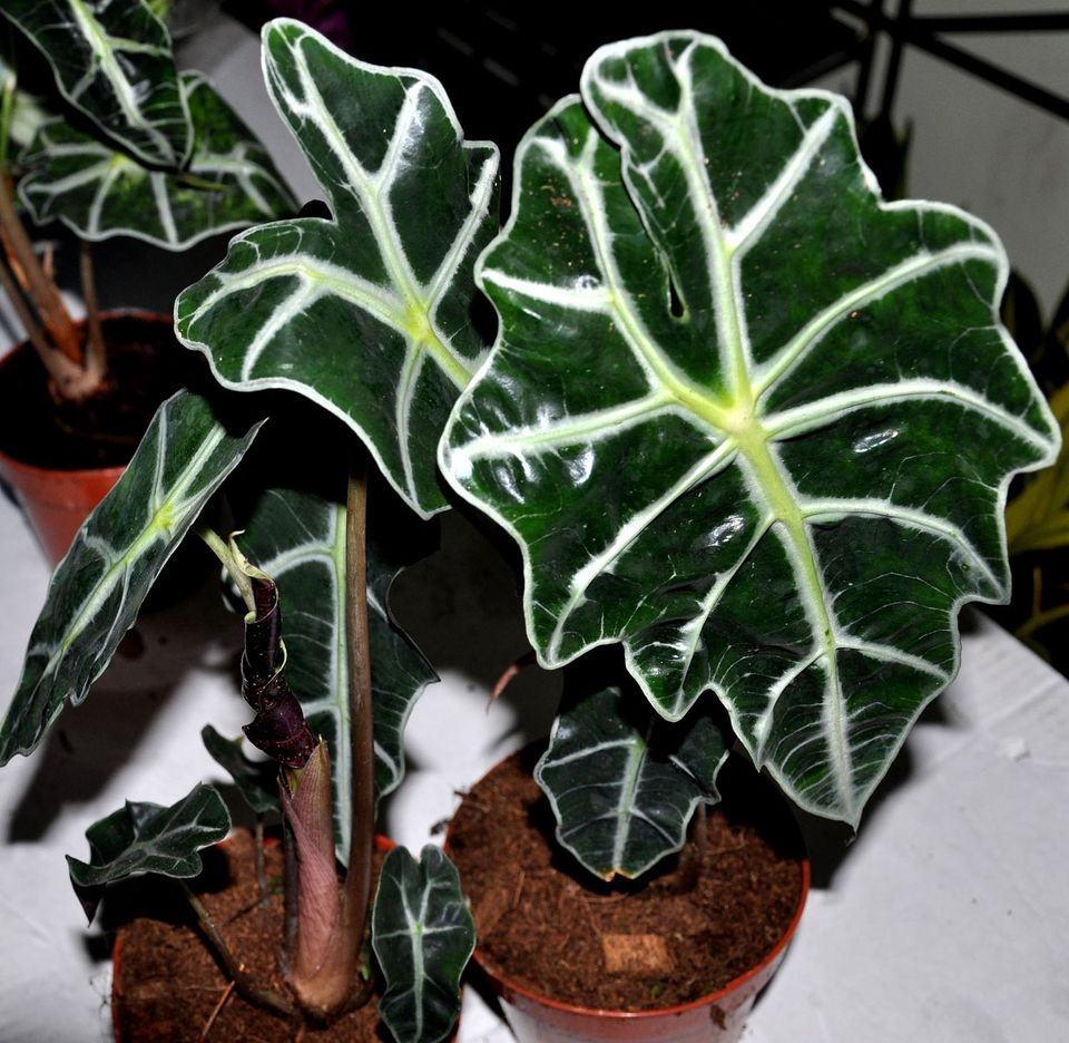 elephant ear plant - Tropical House Plants