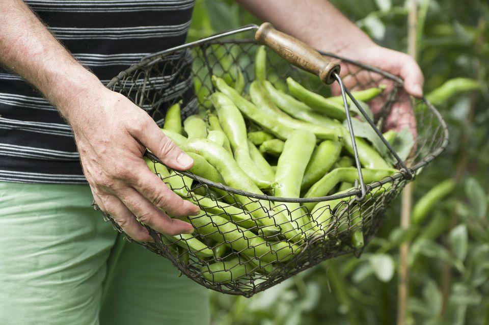 Harvested fava beans