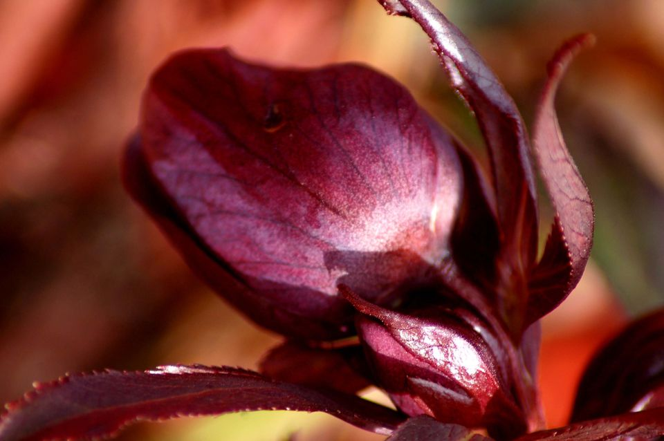 Lenten rose (image) is a shade plant that blooms early. It's a hellebore.