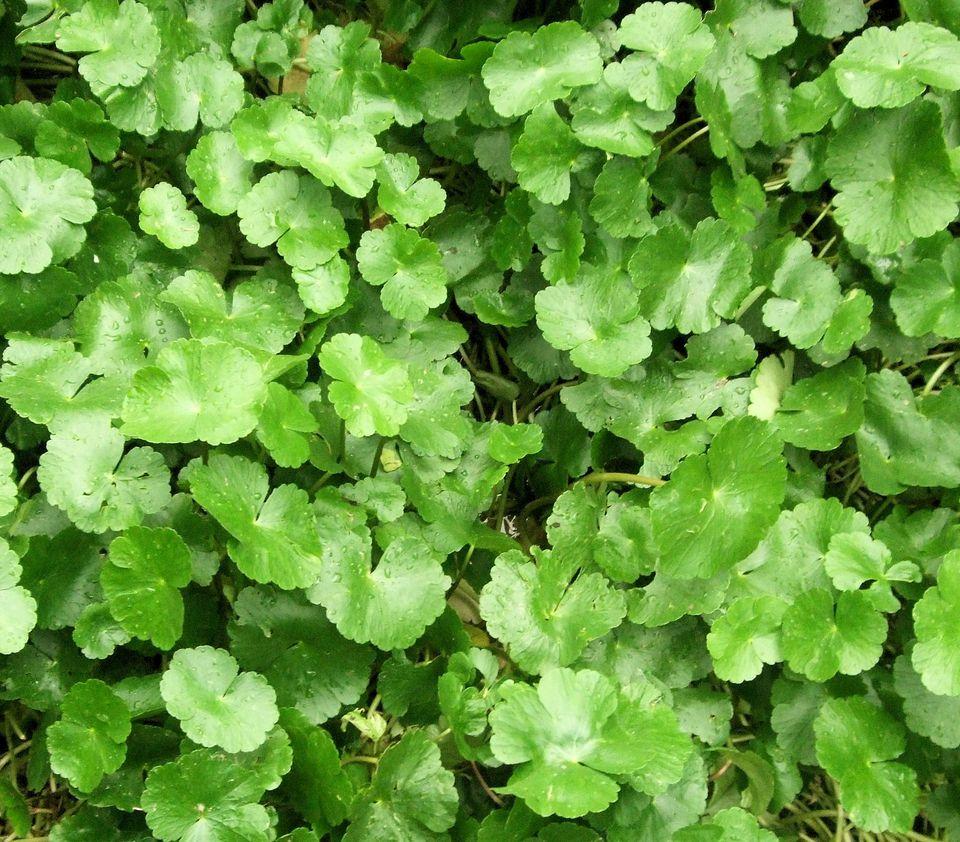 Hydrocotyle leucocephala - Brazilian Pennywort