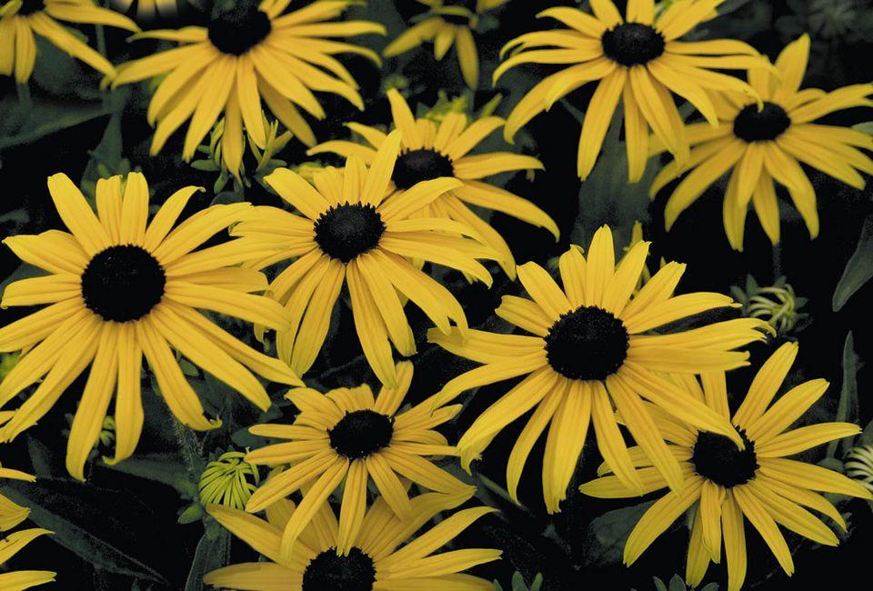 Black-eyed Susans: Rudbeckia 'Goldsturm'