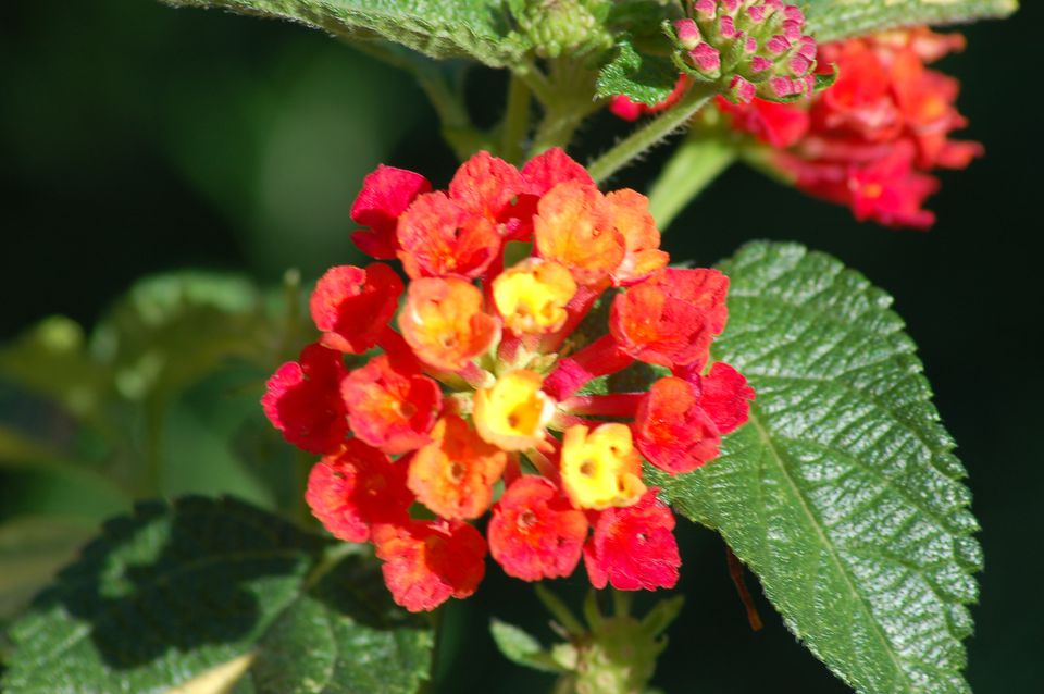 A lantana plant with a deep orange flower is pictured in this image.