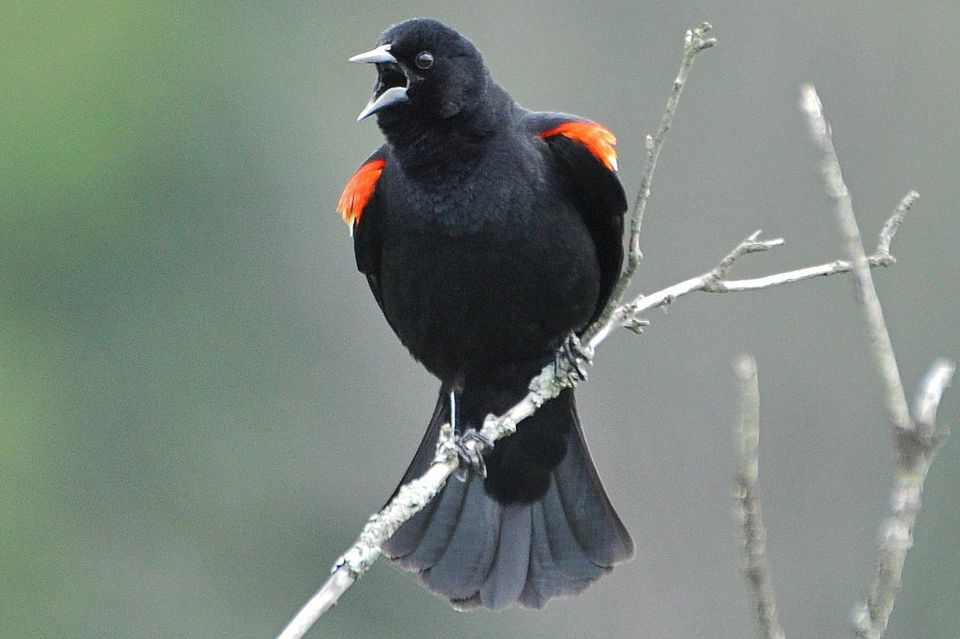 Red-Winged Blackbird Calling and Displaying