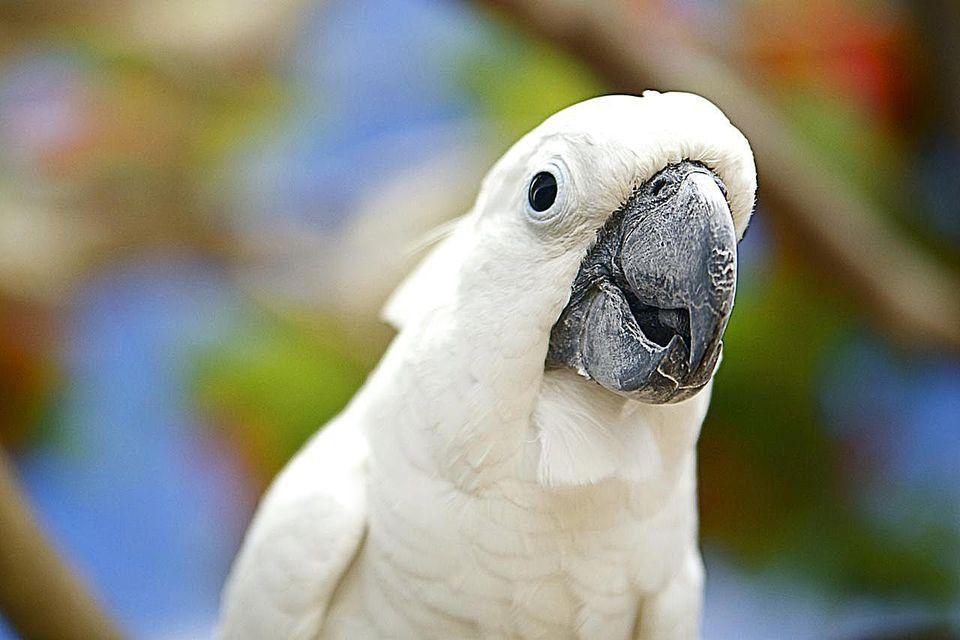 Hawaii, Kauai, White Cockatoo bird.