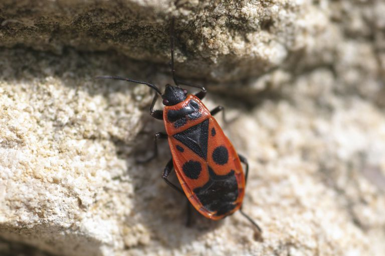 A fire bug  Getty Images Oxford Scientific Ian West. 10 Red and Black Bugs