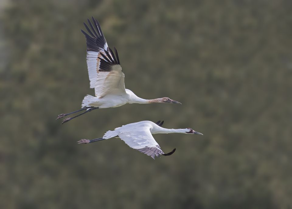Whooping Crane Juvenile and Its Parent in Wingbeat Harmony