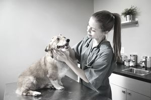 Veterinarian doing a check-up on a Corgi in clinic