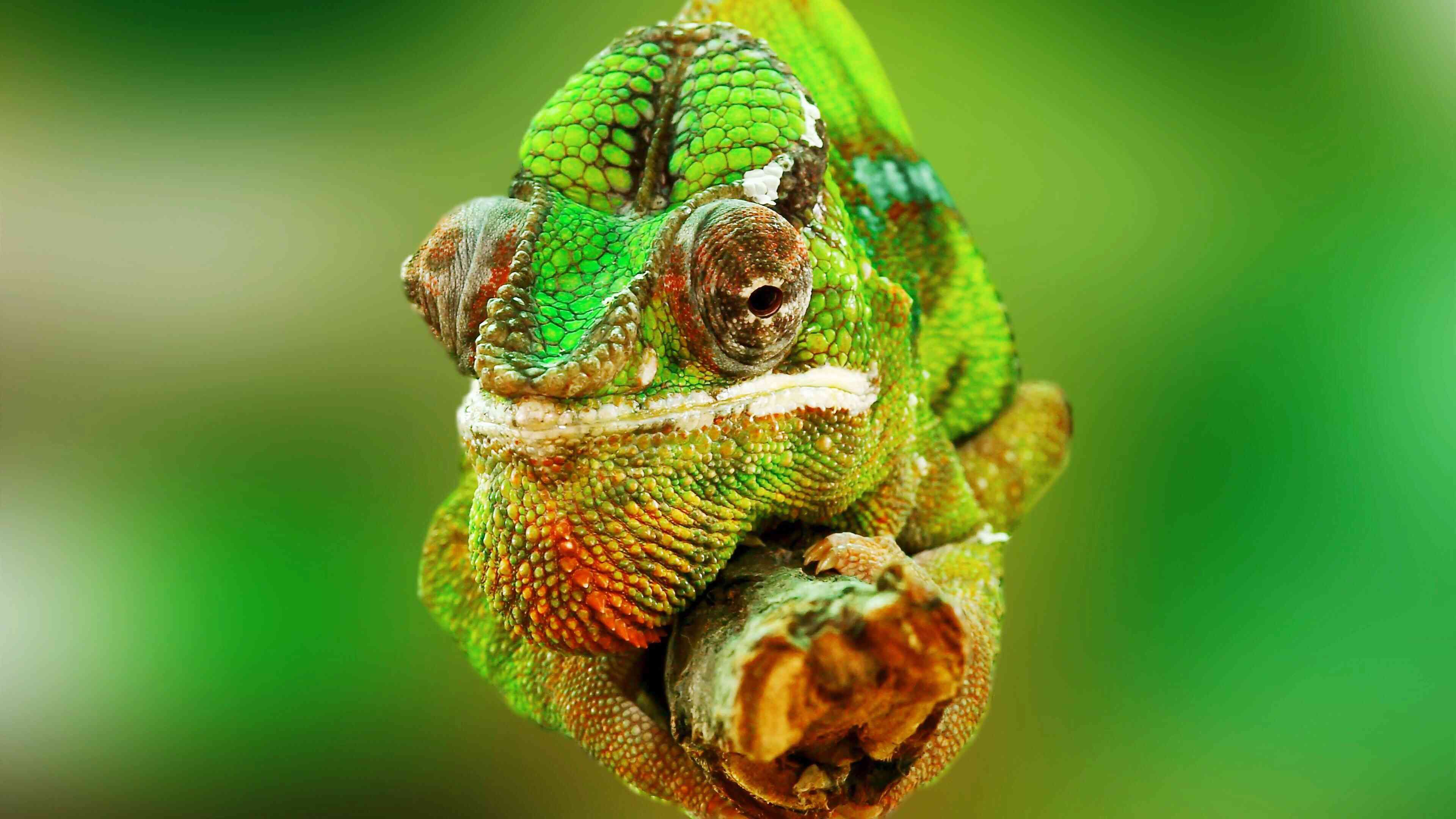 X 1 Chameleon A Guide to Caring for ...