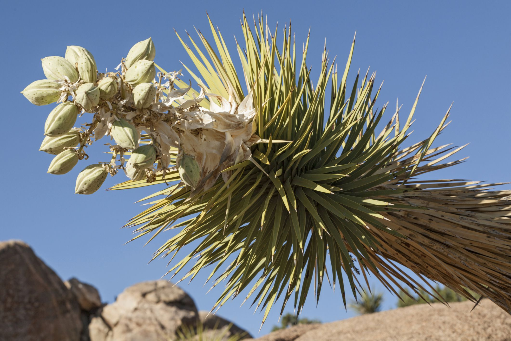 The Health Benefits of Yucca