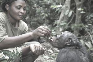 Keeper with adult Bonobo (Pan paniscus) Sanctuary Lola Ya Bonobo Chimpanzee, Democratic Republic of the Congo