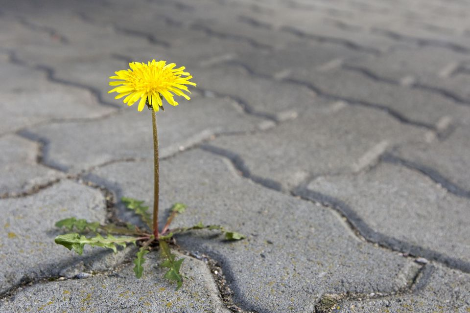 A close-up of a dandelion growing between paving stones