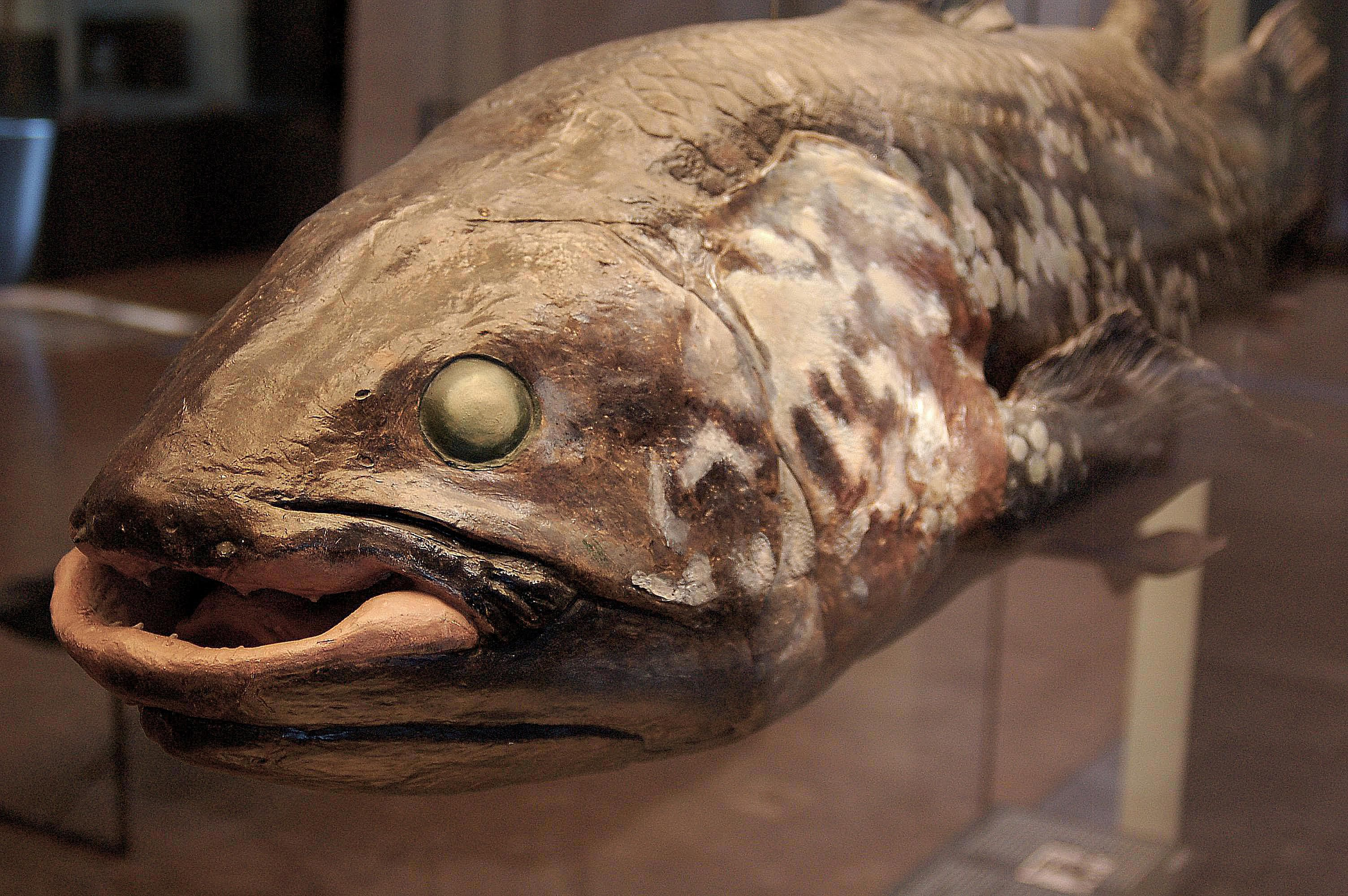 "Coelacanths the World s ly Living ""Extinct"" Fish"