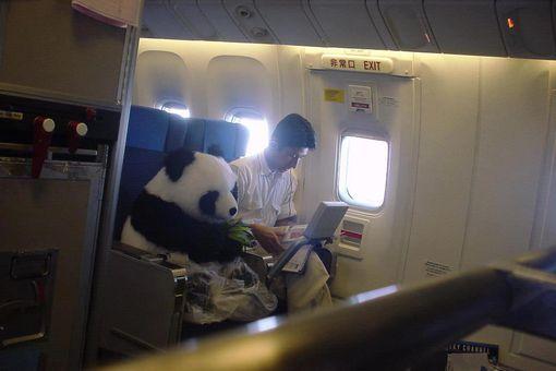 Panda on Plane