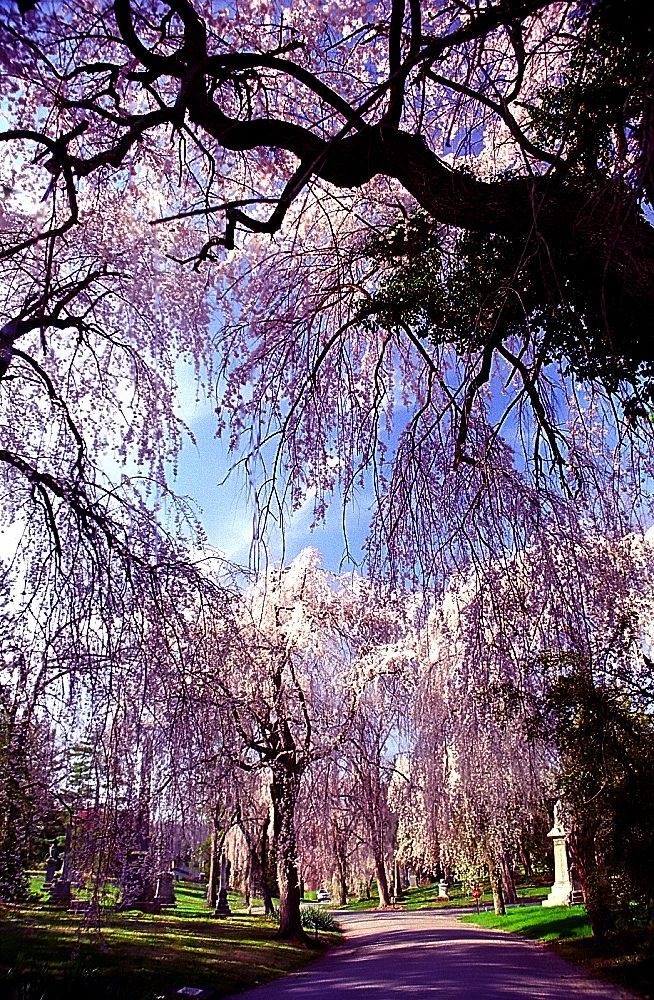 Photo of the weeping Higan cherry