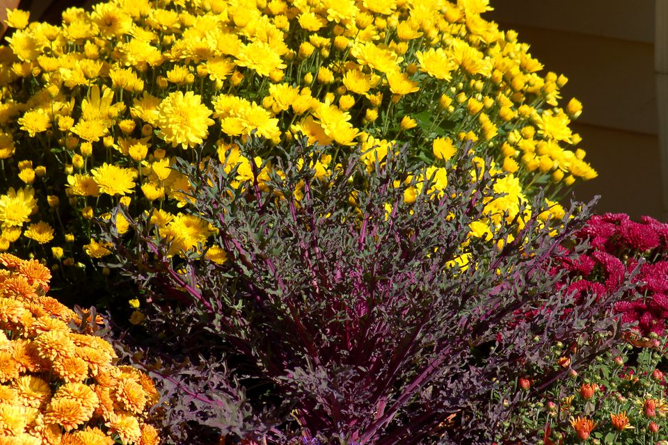 Yellow mums provide a nice background for ornamental kale.