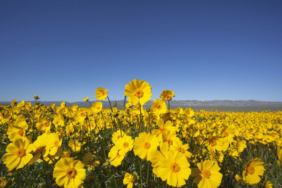 Carrizo Plain with Temblor Range and spring wildflowers (Bigelow's Tickseed), Carrizo Plain National Monument, California, USA