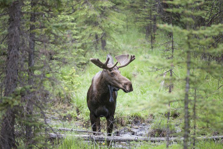 Bull Moose,Alces alces with velvet antlers in Peter Lougheed Provincial Park, Alberta, Canada