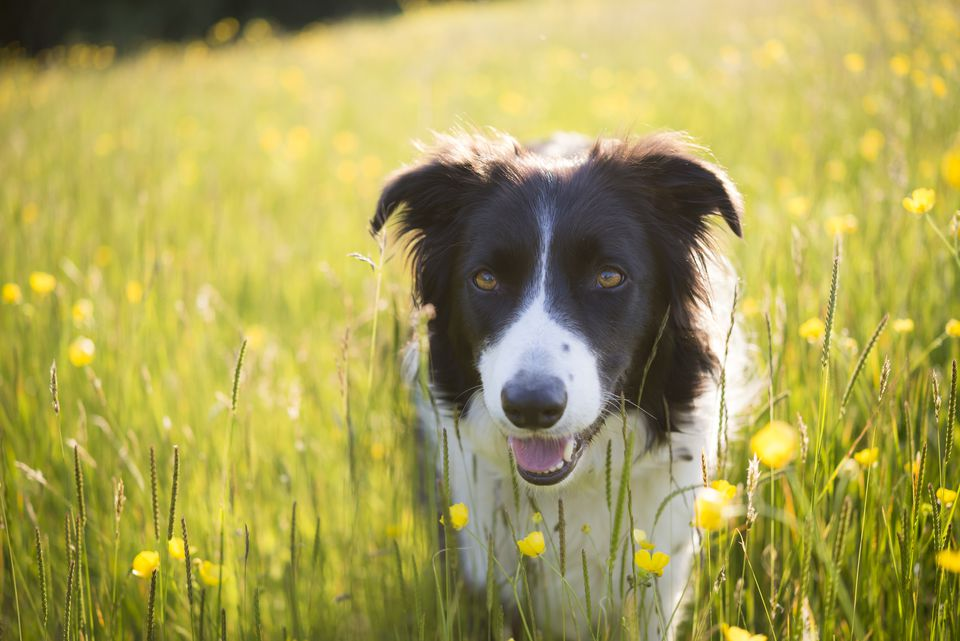 Border collie in a summery field of buttercups