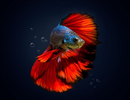 Find out how long betta fish live for How long can a betta fish live