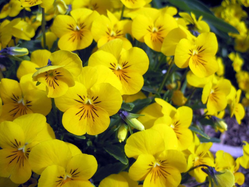 A closeup of some Pan American violas